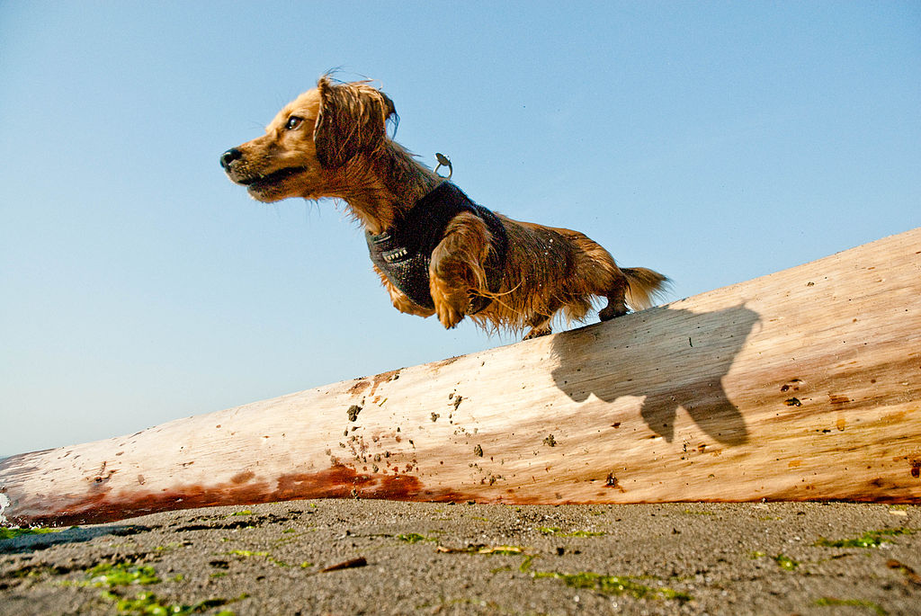 Dachshund leaping from a log on the beach.