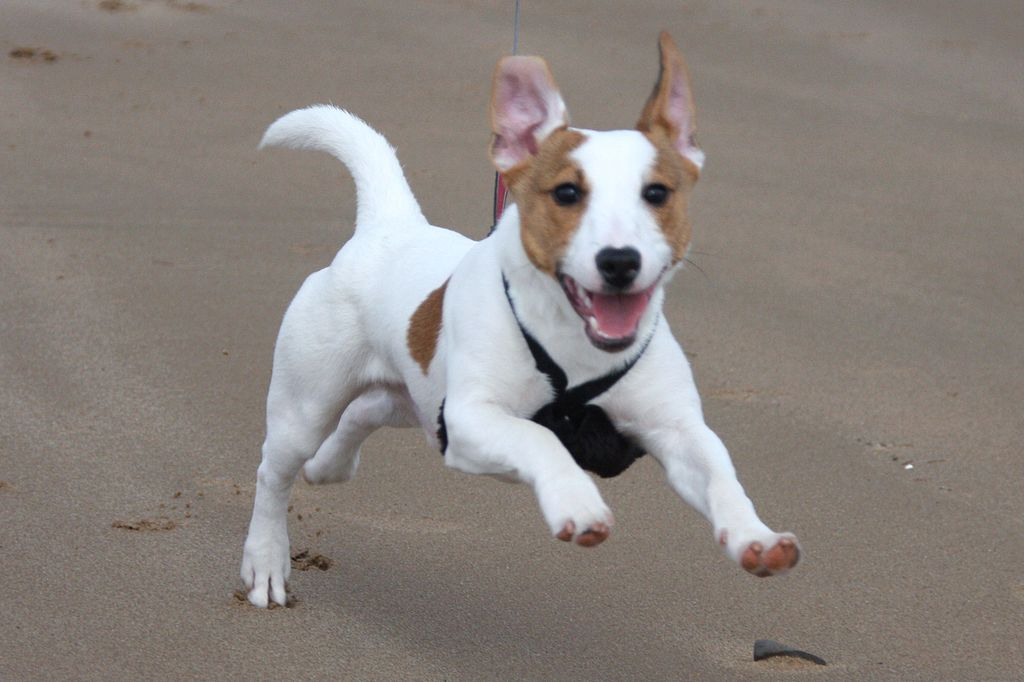 Gizmo the Jack Russell with boundless energy