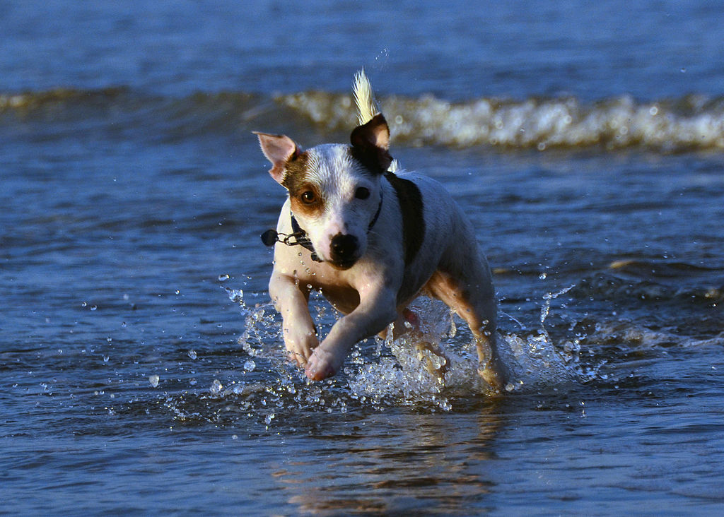 Jack Russell Terrier Eddi in the Sea