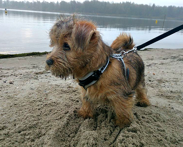 Bruno the Norfolk Terriër at 9 weeks old on the beach.
