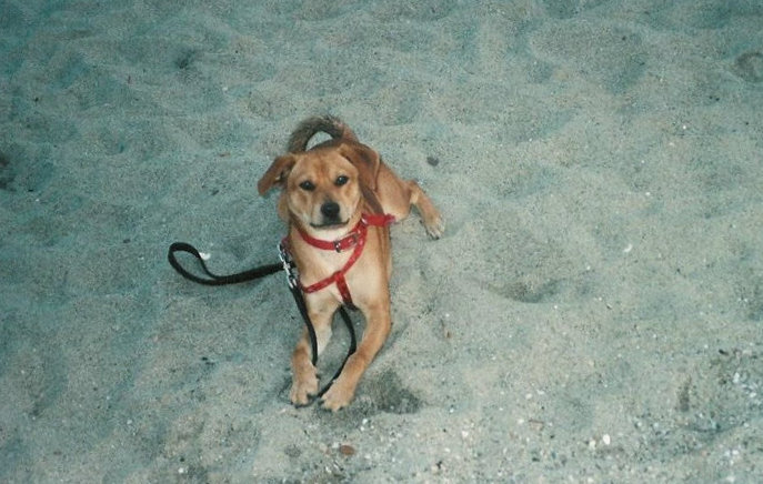 Robby the Italian dog posing for the camera on the beach.