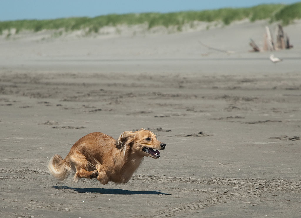 Running Dachshund at the beach