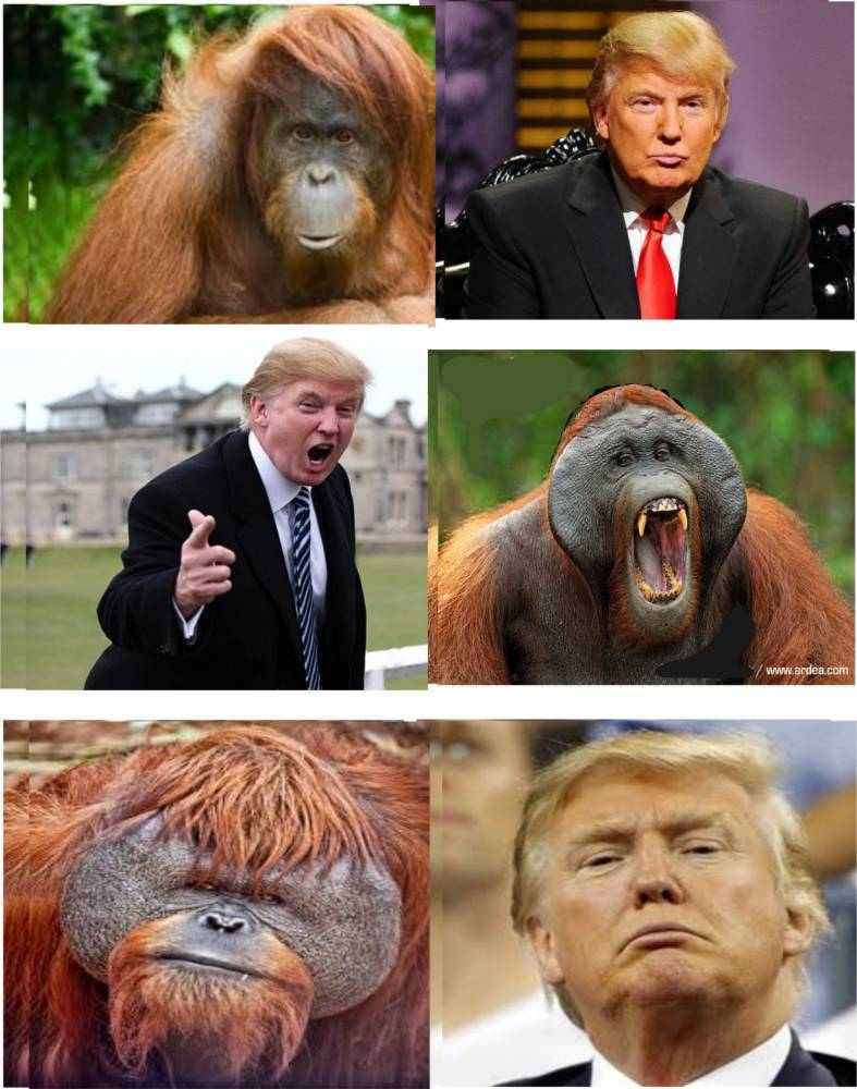 Trump Orangutan Collage